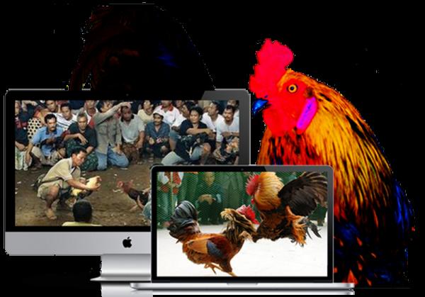 Sabung Ayam Online